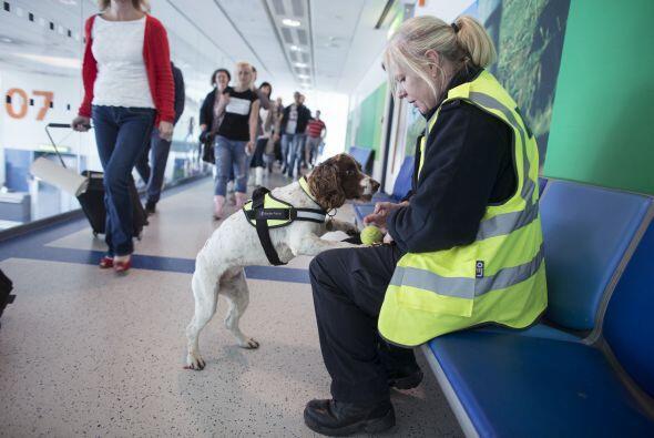 Para entrenar a estos perros de gran ayuda, se requiere entrenamiento es...