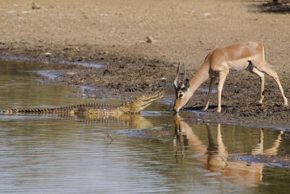 Cuando su amigo cocodrilo llegó, el impala ni siquiera levantó la mirada...