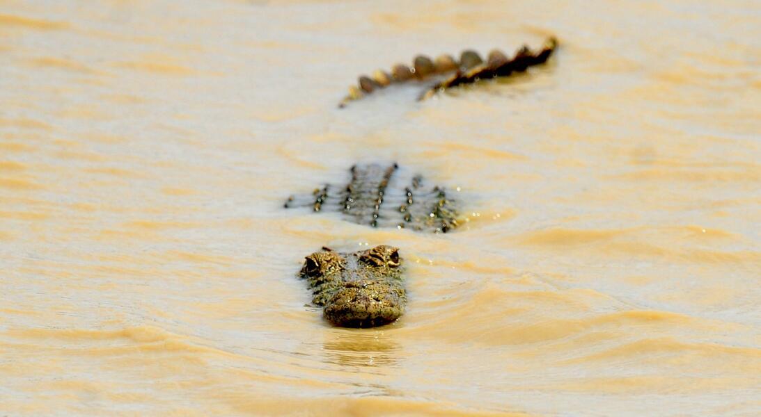 Las lágrimas de cocodrilo y otras curiosidades de uno de los animales má...
