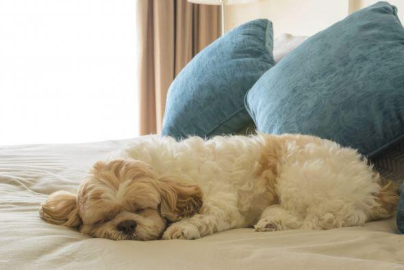 Tu mascota puede sentirse enferma al ingerir alcohol, al igual que los h...