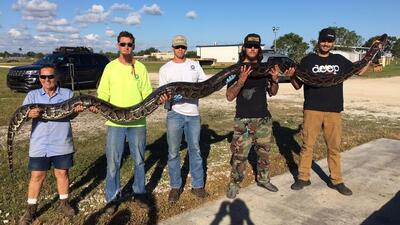 Cuatro hombres levantan la serpiente más grande que han cazado en sus vi...