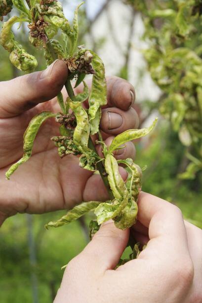 Doctora de jardín. Deshazte de las hojas enfermas de las plantas...