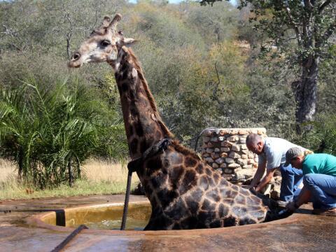 Una jirafa es rescatada