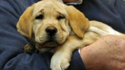 El labrador retriever, el perro más popular de EU.