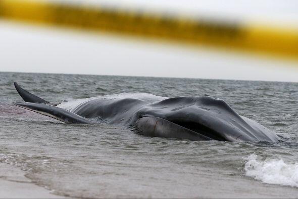 Una ballena de 9 metros apareció en la playa  Breezy Point, al sudeste d...