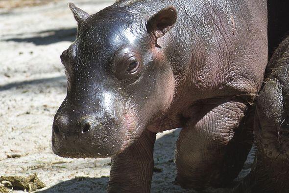 Esta adorable cría nació en el zoológico de la capi...