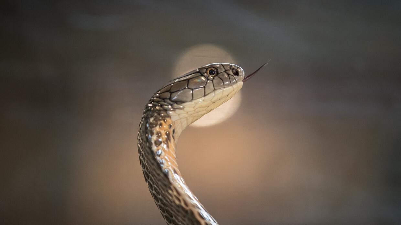 Vista de perfil de una cobra real erguida en pose defensiva.