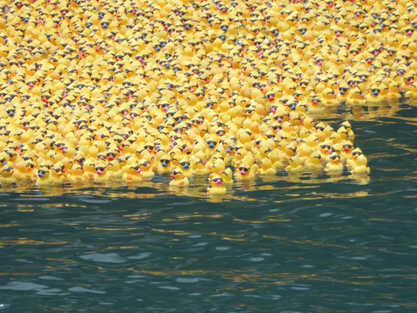 Cerca de 60,000 patitos de hule fueron lanzados al Río Chicago pa...