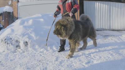 Conoce los perros más salvajes de Rusia: excelentes guardianes pero con un solo amo (si no lo eres, te atacan)