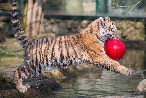 Este bebé tigre llamado Dragan disfruta jugando con su pelota sobre el a...
