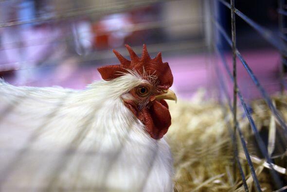 Por ejemplo, se decía que si la gallina cacareaba en la noche en la casa...
