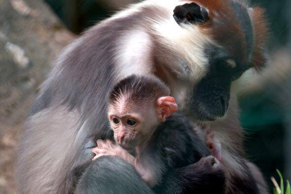 La cría de mono mangabey, aún sin nombre, fue fotografiada al lado de su...