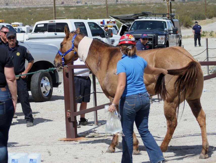 El caballo, con un vendaje y tratamiento intravenoso, es trasladado