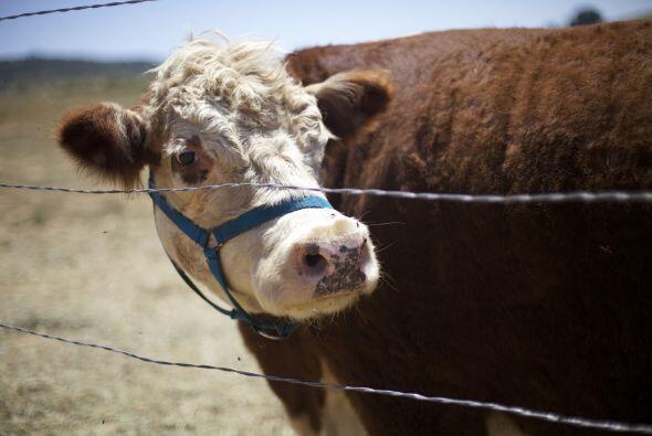 'Milkshake' nunca tuvo interacción con otras vacas, pues vivía en una ja...