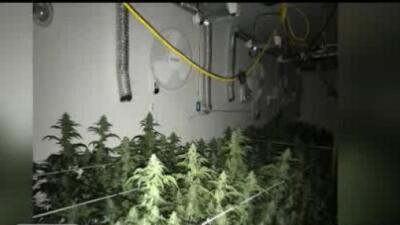 Decomisan 583 plantas de marihuana en el condado Calaveras