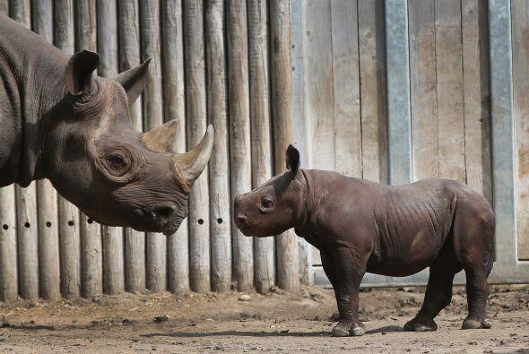 Este animal es increíble, algunos rinocerontes pueden vivir 5 días sin g...