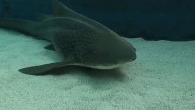 Dos tiburones zebra nacen por inceminación artificial en CA