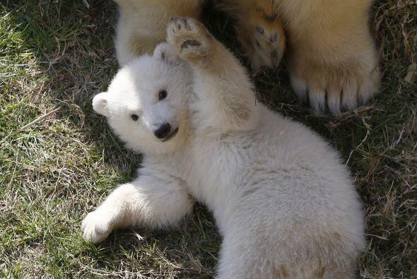 Ellos viven en un parque de exhibición animal que se encuentra en Antibe...