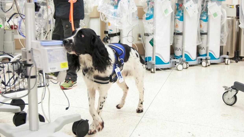 Este perro ayuda a monitorear la contaminación del equipo médico dentro...
