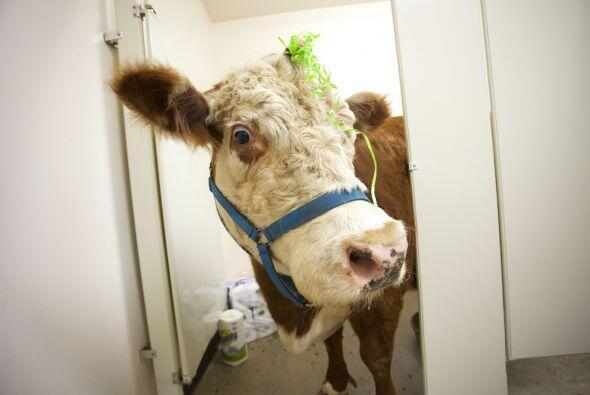 Suena ultra raro y fantasioso, pero en realidad está simpática vaca se c...