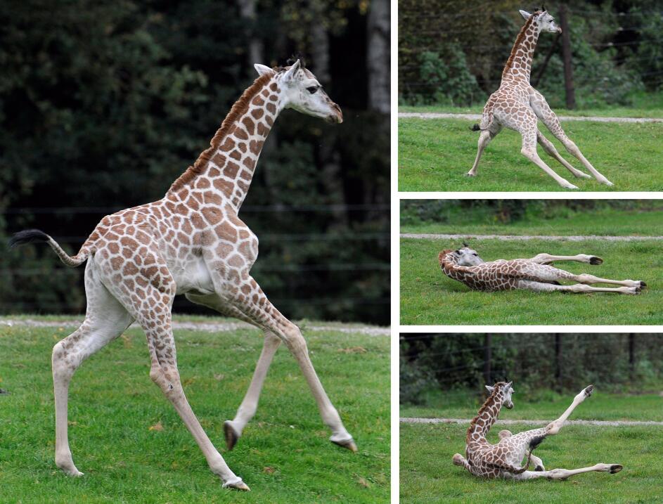 El bebé jirafa más famoso del mundo cumplió un año y casi 50,000 persona...