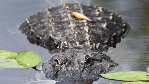 Un cocodrilo americano en los Everglades
