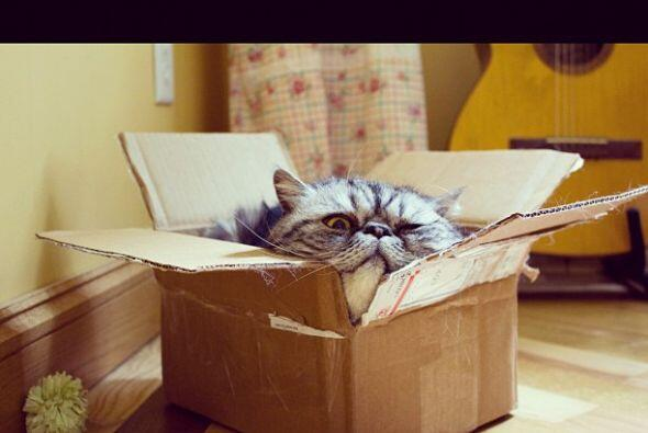 Podemos ver a este gatito recostado o escondido en cualquier lugar.