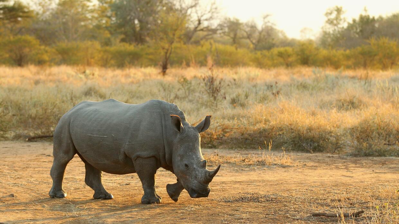 Reportan la caza furtiva de 1,160 rinocerontes en Sudáfrica en 2015 Gett...