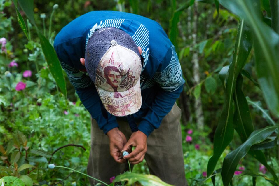 Los pequeños productores de amapola pueden vender el kilo de opio...
