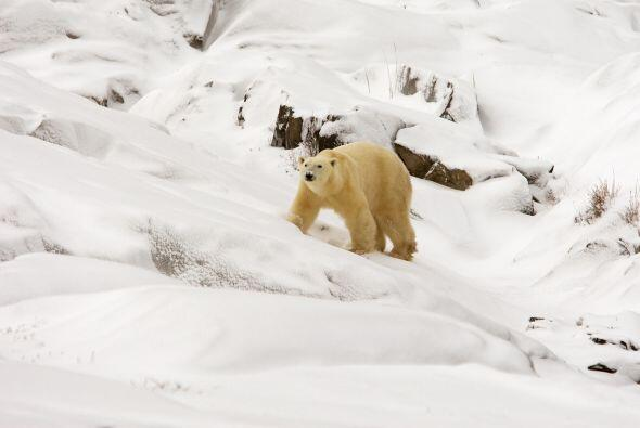 Están adaptados para vivir en el frío extremo polar. Su pe...