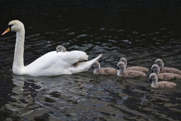 Los polluelos siguen a su madre, una encantadora y elegante cisne, mient...