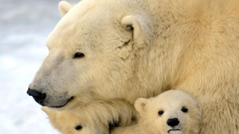 El 27 de Febrero se observa el Día Internacional del Oso Polar ....