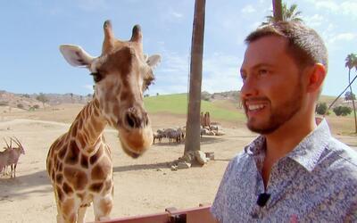 ¡Aventura en el safari! Esta jirafa nos enseñó la lengua