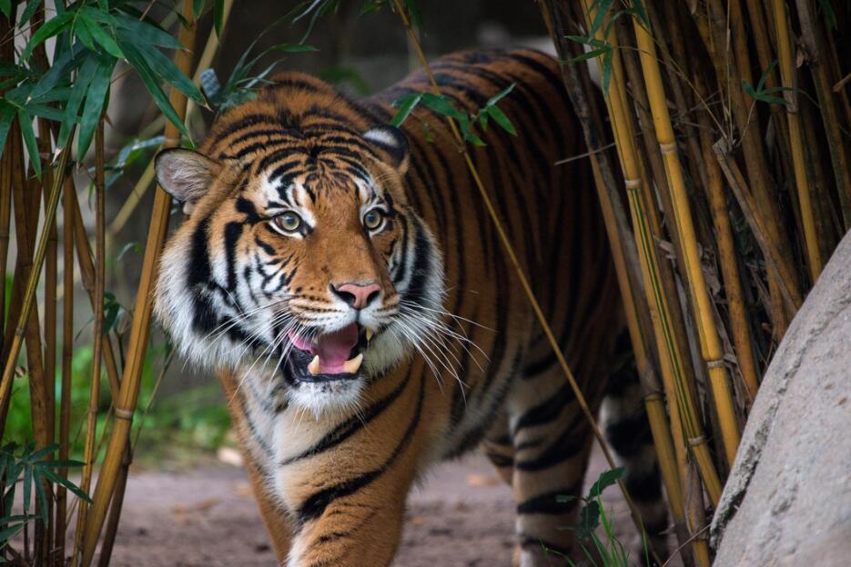 Berani, el nuevo tigre del zoológico de Houston