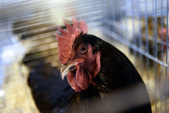 Cuando el gallo conversaba con la gallina se creía que moriría una solte...