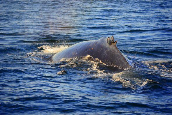 Sin capturarlas y cuidando los océanos se podrían conservar más ya que e...