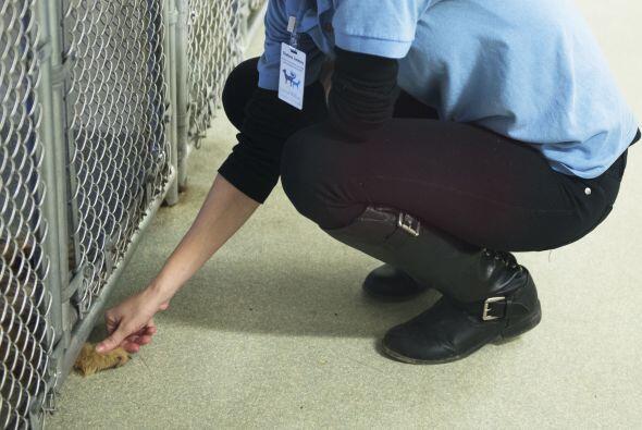Por el momento Fairfax County Animal Shelter cuida a 10 de los perritos...