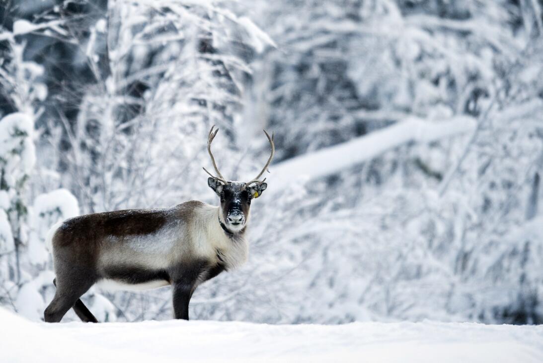Qué dice la ciencia sobre la nariz roja del reno Rodolfo GettyImages-107...