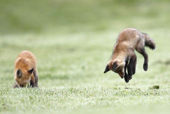 Estos pequeños zorros están haciendo algo que pocos han visto.