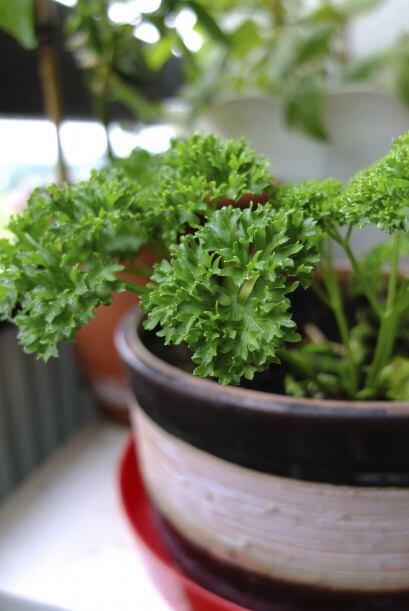 Luz solar. La mayoría de las hierbas culinarias provienen del Mediterrán...