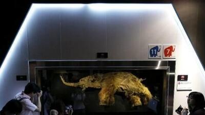 Tras descubrirse en Siberia en 2010, Japón exhibió hoy, por primera vez...