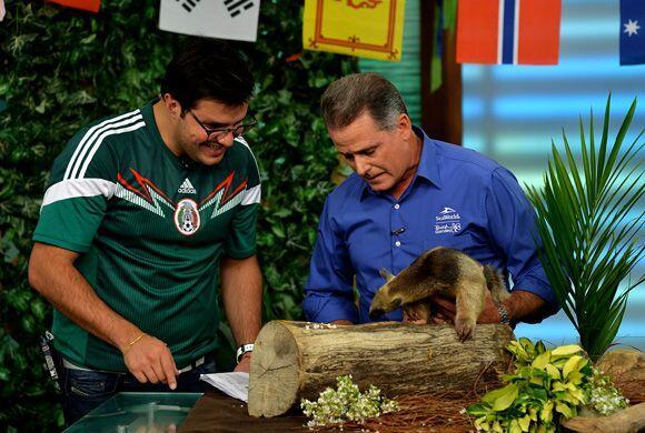 Esta especie de oso hormiguero se llama Tamandua y también se encuentra...
