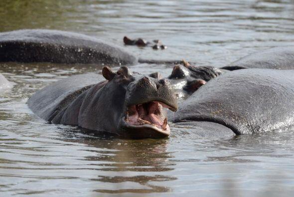 Los hipopótamos en su hábitat natural.