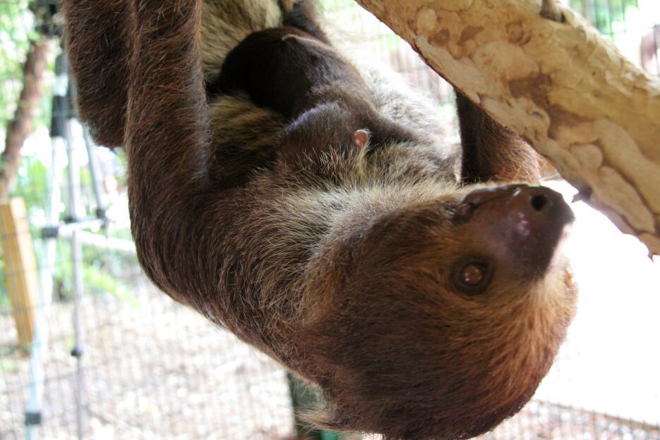 ¡Conoce al nuevo miembro de la familia de Jungle Island! Baby sloth and...