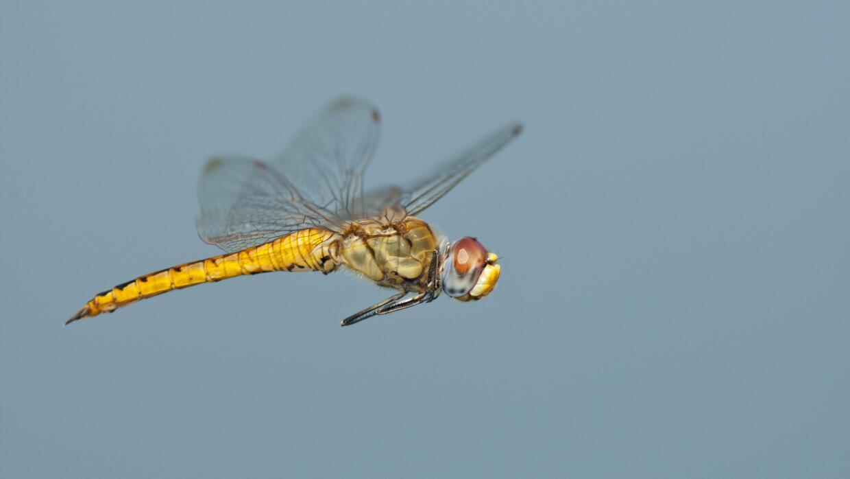 La especie de insecto que realiza la migración más larga dragonfly.jpg
