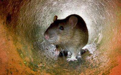 Denuncian infestación de ratas y cucarachas en la primaria Villa Park de...