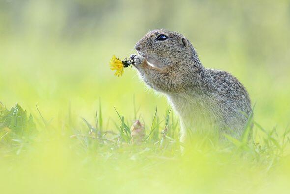 Con sus brazos cortos, la ardilla se ayuda para ingerir toda la flor. Co...