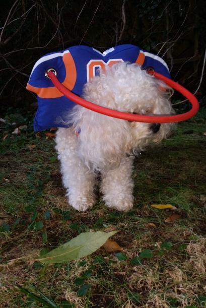 Muffin es una poodle que debido a su edad quedó ciega por problemas de c...