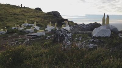 La triste historia del pájaro Nigel: murió intentando conquistar a un ave de cemento