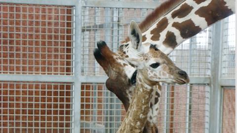 El bebé Tsavo con su madre, la famosa jirafa Katie